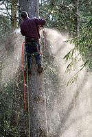 Tree cutting, safety line, fir tree cutting, chainsaw use