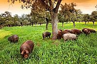 Iberian porks