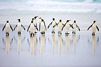 King Penguin Aptenodytes patagonicus group in the surf