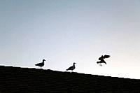 USA, California, Santa Barbara: two gulls sitting on roof of building, third gull landing, silhouette of three birds