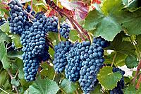 Wine grapes, Napa Valley, California