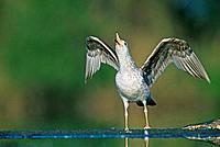 Herring gull (Larus argentatus).