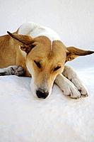 Sleeping Dog, Oia, Santorin, Cyclades, Greece, Europe