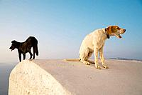 2 Dogs on roof, Oia, Santorin, Cyclades, Greece, Europe