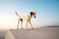 Dog on Roof, Oia, Santorin, Cyclades, Greece, Europe