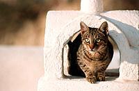 Cat on chimney, Oia, Santorin, Cyclades, Greece, Europe