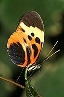 Butterfly. Napo River basin, Amazonia, Ecuador