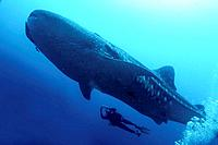 Whale shark. Darwin Island, Galapagos Islands, Ecuador