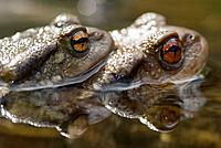 Common Toad (Bufo bufo) mating, Montseny Natural Park. Barcelona province, Catalonia, Spain