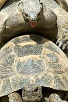 Hermann´s Tortoise (Testudo hermanni) mating
