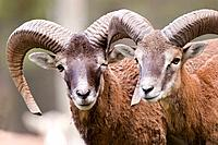 Mouflon (Ovis musimon). Pyrenees Mountains, Catalonia, Spain