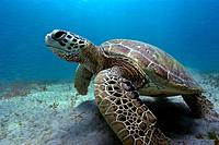 Green sea turtle, Chelonia mydas, Sueste Bay, Fernando de Noronha, Pernambuco, Brazil, Atlantic Ocean