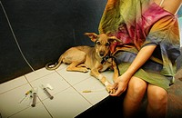 Assagao Goa, India, sick dog recovering at the International Animal Rescue center