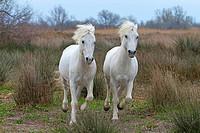 Camargue Horses – Stallions; Camargue ; Bouches du Rhône ; France ; Chevaux de Camargue – Etalons ; Camargue ; Bouches du Rhône ; France ; Camargue Pf...