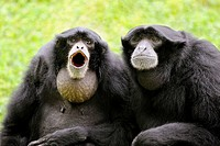 Pair of Siamang gibbon vocalising (Hylobates syndactylus)  captive