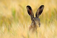 European brown hare in a grain field, Lepus europaeus, June, Summer, Germany