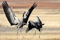 Common Cranes (Grus grus) fighting. Gallocanta, Zaragoza province, Aragon, Spain