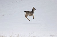 Young roe-buck Capreolus capreolus on a snow-covered meadow in late winter Västernorrland, Sweden