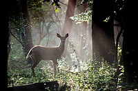 A white_tailed doe deer is caught in a shaft of early morning mist and light, Pennsylvania, USA.