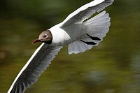 The Black-headed Gull (Larus ridibundus)