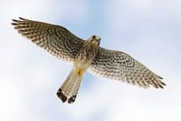 Kestrel (Falco tinnunculus), female