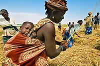 Rice harvest near Timbuktu, Mali