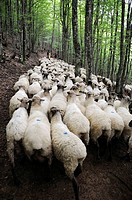 Transhumance to higher pastures in Urbia from ´caserío´ (typical farm) in the lowland, Basque Country, Spain