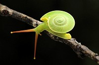 This green snail is often seen living on high ground moving from tree's leaves to the other.