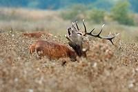 The red deer rut (Cervus elaphus). Spain.