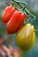 Tomatoes. Schleswig-Holstein, Germany