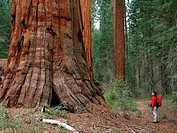 Hiker, 40s, looking at giant sequoia, Redwood Canyon Trail, Kings Canyon National Park, California, USA