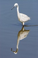 Littel Egret (Egretta garzetta). Ebro delta, Tarragona, Catalonia, Spain