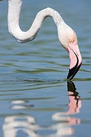 Flamingo (Phoenicopterus roseus) on lagoon