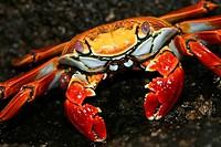Sally Lightfood crab (Grapsus grapsus). Galapagos Islands, Ecuador