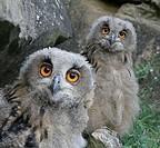 Eagle owls (bubo bubo)