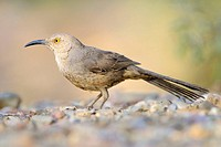 Curve-billed Thrasher (Toxostoma curvirostre). Saguaro N.P., Arizona, USA.