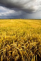 Summer storm on a landscape of cereal crops  Arcediano  Salamanca province  Castilla y Leon  Spain