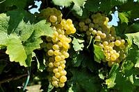 White grapes ready for harvest.