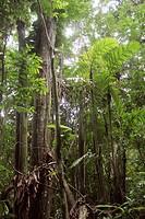 Palmeras en la Selva Nublada, Parque Nacional Henri Pittier (Rancho Grande), Venezuela