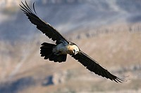 Bearded vulture, Gypaetus barbatus, in flight