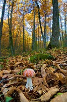 Amanita muscaria Fly agaric in a forest of chestnut trees in the Sierra de Béjar, Hervás, in the province of Caceres, Spain, Europe