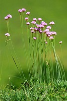 Armeria arenaria, Pyrenees Mountains