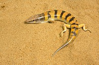 Sandfish, Scincus scincus, North Africa