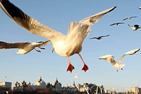 Seagulls fly on Thames river London England