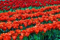 Medium shot of red Tulip´s field