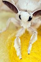 Silkworm moth (Bombyx mori)