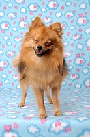 Portrait of a Pomeranian dog, smiling
