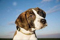 4 month old Plott Hound, the only American hound without British ancestry