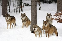 European Wolves Canis lupus