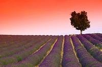 France, Provence-Alpes-Côte d´Azur, Alpes-de-Haute-Provence, Valensole, Lavender Fields